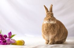 Tan ed il coniglio di coniglietto colorato Rufus di pasqua fa le espressioni divertenti contro i fiori molli del tulipano e del f Fotografia Stock