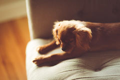 Tan English Cocker Spaniel Lying on Green Mattres Stock Images