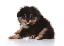 Tan et chiot noir de Pomeranian regardant la vue Photographie stock libre de droits
