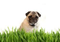 Tan färbte Pug hinter Gras Stockfotografie