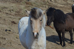 Tan Faced White Icelandic Horse. Tan faced white horse on a farm in Iceland Stock Images