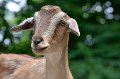 Tan goat Royalty Free Stock Images