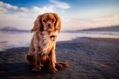 Tan Golden Retriever Mix in Seashore Stock Images