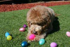 Tan Goldendoodle Dog med påskägg Arkivbild
