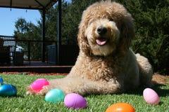 Tan Goldendoodle Dog med påskägg Royaltyfri Foto