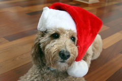 Tan Goldendoodle Dog med Santa Hat Royaltyfri Foto