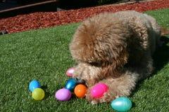Tan Goldendoodle Dog mit Ostereiern Lizenzfreies Stockbild