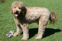 Tan Goldendoodle Dog Standing auf Gras Lizenzfreie Stockfotos