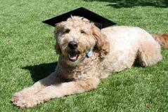 Tan Goldendoodle Dog Wearing ett avläggande av examenlock Royaltyfri Fotografi