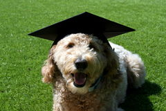 Tan Goldendoodle Dog Wearing a Graduation Cap Royalty Free Stock Photography