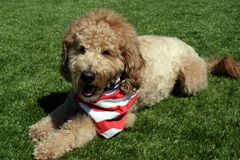 Tan Goldendoodle Dog Wearing Patriotic-Bandana Lizenzfreies Stockfoto