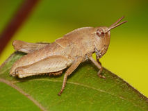 Tan Grasshopper  On Green Leaf Royalty Free Stock Photo
