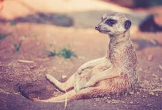 Tan and Grey Animal Sitting on Ground Stock Images