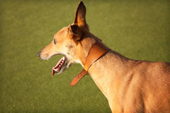 Tan Greyhound. A tan greyhound in the sun, seen from the side, looking into the distance royalty free stock image