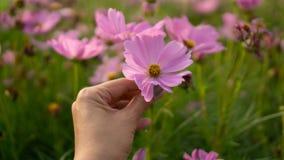 Tan-Hauthand einer Frau, die ein beauticl rosa Blumenblatt der Kosmosblume auf grüne Blätter unscharfem Hintergrund hält lizenzfreie stockfotografie