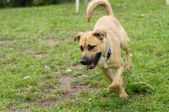 Tan hond die op gras lopen royalty-vrije stock afbeelding