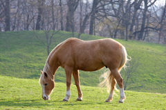 Tan Horse. Horse In Morning Sun Feeding On Grass Royalty Free Stock Images