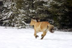 Tan Horse Galloping in Snow. Tan colored horse gallops through a snow covered field.  Snow laden evergreen trees are visible in background Royalty Free Stock Photo