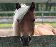 Tan Horse With White Mane Stock Images