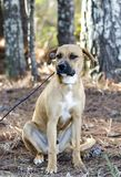 Hound Cur mixed breed dog with black muzzle sitting. Tan hound, Black-mouthed Cur, Boxer mix puppy dog mutt with black muzzle outdoors on black leash. Male, not Stock Photo