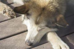 Tan Husky Sled Dog Imagenes de archivo