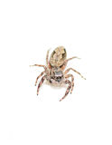 Tan Jumping Spider Stock Images