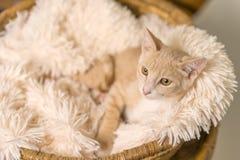Tan kitten lying down in basket Stock Photography