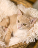 Tan kitten lying down in basket Stock Photo