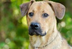 Tan Lab Hound mezcló el perro de la raza al aire libre Imagen de archivo