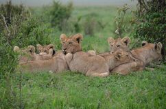 Tan Lionesses on Green Field during Daytime Royalty Free Stock Photography