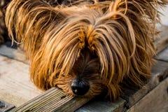 Tan Long Coat Dog Eyes Covered Stock Photography