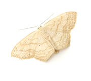 Tan Moth Royalty Free Stock Photos