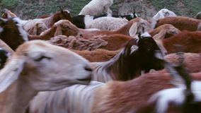 Tan muchas cabras en el capítulo - Shepherd con sus animales en las montañas almacen de metraje de vídeo