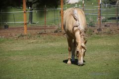 Tan palomino horse grazing. In a field in Central Oregon Stock Photo