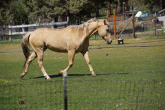 Tan palomino horse grazing Royalty Free Stock Photo