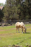 Tan palomino horse grazing Royalty Free Stock Photography