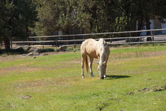 Tan palomino horse grazing Royalty Free Stock Photos