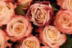 Tan and peach roses Stock Images