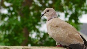 Tan pigeon. Royalty Free Stock Image