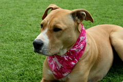 Tan Pit Bull Dog auf dem Gras, das Camo-Bandana trägt Stockbild