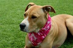 Tan Pit Bull Dog su erba che indossa la bandana di Camo Immagine Stock