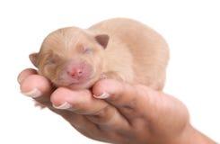 Tan Pomeranian Puppy Dog in Hand Stock Photography