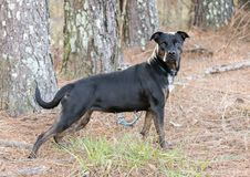 Tan preto misturou o cão fêmea da raça amarrado fora na trela imagem de stock