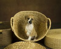 Tan pupply sits in wicker basket holding one paw up on warm painted background. Baby basket baskets black mask calm cover cross bred dog eye contact level fit stock photography