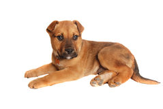 Tan puppy laying down Stock Photography