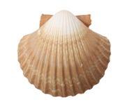 Tan Radial Sea Shell. Tan Radial Seashell Isolated on White Background stock photos
