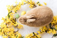 Tan and Rufus Easter bunny rabbit with yellow spring forsythia flowers on white textured floor, flat lay. Pets, domestic house rabbit Stock Images