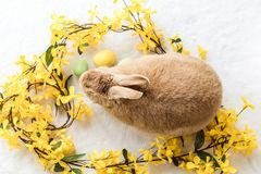 Tan and Rufus Easter bunny rabbit with yellow spring forsythia flowers on white textured floor, flat lay. Pets, domestic house rabbit Stock Photos