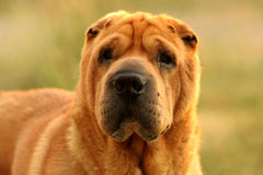 Tan Sharpei Dog. Close up shot of a Sharpei with a green grass background Royalty Free Stock Photography
