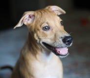 Tan Short Coat Dog Royalty Free Stock Photos